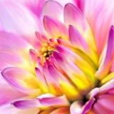 fiore-rosa